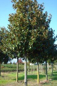 boomonderhoud magnolia