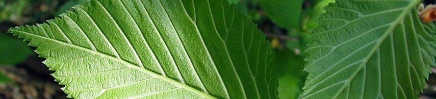 Wethouder Ruwhof plant eerste prunus in de Molenbeekstraat