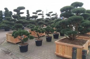 japanse tuin met bonsai