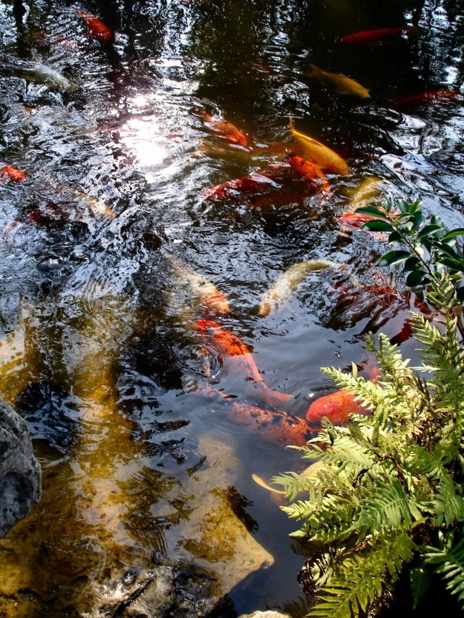 koi japanse vissen