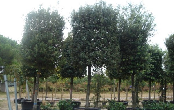 boomonderhoud ilex