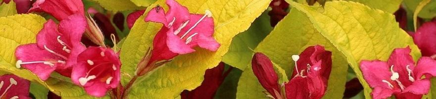 Vroegbloeiende heesters in uw tuin
